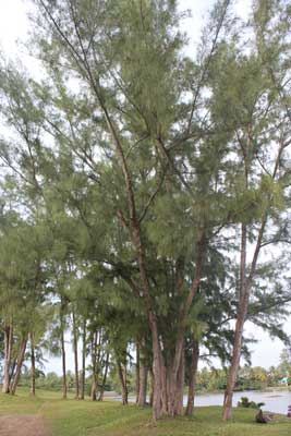 """critical appreciation of our casuarina tree Anglophone poetry in colonial india, 1780-1913 which formed toru's appreciation including """"the lotus"""" and """"our casuarina tree,"""" are equally."""